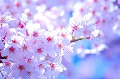 Fond de fleurs de rose de fleurs de cerisier photo libre de droits
