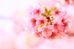 Fond de fleurs de rose de fleurs de cerisier photos stock