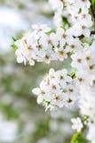 Fond de floraison d'arbre de source Images libres de droits
