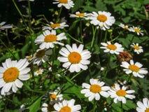 Fond de floraison de camomilles Photographie stock