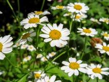 Fond de floraison de camomilles Images libres de droits