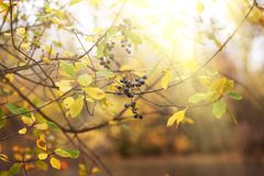 Fond de forêt d'automne avec des raisins sauvages et rouge et y colorés photos stock