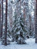 Fond de forêt dans le temps de Noël Image libre de droits