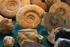 Fond de fossile d'ammonites Photographie stock libre de droits