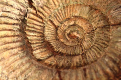 Fond de fossile d'ammonites Photo stock