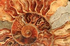 Fond de fossile d'ammonites Image stock