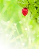 Fond de fraisier commun Image libre de droits