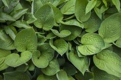 Fond de grandes feuilles vertes naturelles, avec une surface de soulagement Image stock