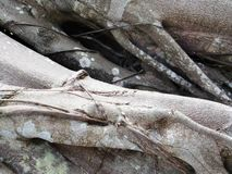 Fond de Grey Banyan Tree Roots Abstract images stock