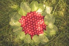 Fond de jardin d'été avec les framboises mûres sur l'herbe et la lumière du soleil en baisse Images stock