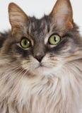 Fond de jaune d'esprit de visage de chat Image stock