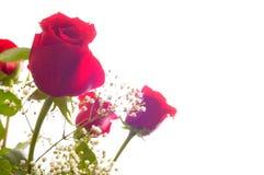 Fond de jour de mères, groupe de roses rouges sur le blanc Photographie stock libre de droits