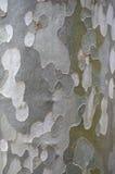Fond de l'écorce du sycomore Photos libres de droits