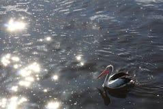 Fond de l'eau éclatante avec le pélican photographie stock