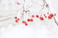 Fond de l'hiver branche couverte de neige de pommier sauvage avec s Photo stock