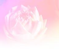 Fond de lotus de fleur Photos libres de droits