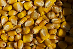 Fond de maïs Photo libre de droits