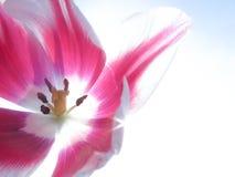 Fond de macro de fleur de tulipes Doux et rêveur Photographie stock