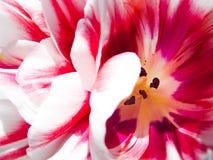 Fond de macro de fleur de tulipes Doux et rêveur Image libre de droits