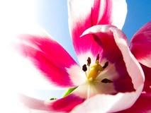 Fond de macro de fleur de tulipes Doux et rêveur Image stock