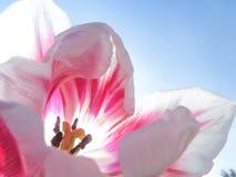 Fond de macro de fleur de tulipes Doux et rêveur Images libres de droits