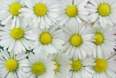 Fond de marguerites blanches Images stock
