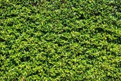 Fond de mur de feuilles Photographie stock