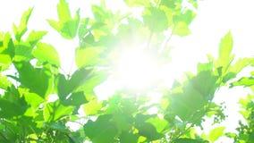 Fond de nature Éclat de Sun par le soufflement sur des feuilles de vert d'arbre de vent Bokeh abstrait brouillé avec la fusée du  banque de vidéos