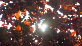 Fond de nature Éclat de Sun par le soufflement sur les feuilles rouges d'arbre de vent Bokeh abstrait brouillé avec la fusée du s banque de vidéos