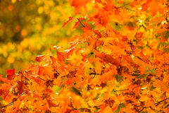 Fond de nature d'arbres de chute de feuilles d'automne Photographie stock libre de droits