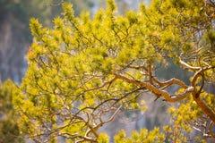 Fond de nature des aiguilles ensoleillées de pin sur la branche Images libres de droits
