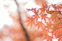 Fond de nature des feuilles colorées d'Autumn Maple de Japonais photo stock