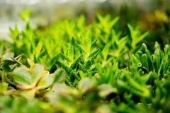 Fond de nature des rosettes succulentes d'echeveria le succulent plante la décoration moderne de pièce Usines de maison de cactus Images stock