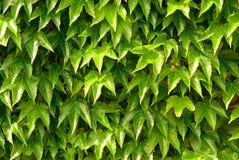 Fond de nature, lames de lierre sur le mur Photos stock