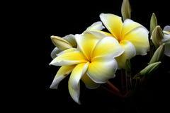 Fond de noir de fleur de Plumeria Images stock