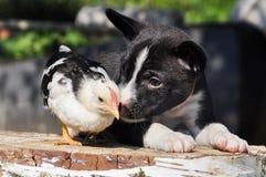 Fond de Pâques avec le chiot et un petit poulet Image libre de droits