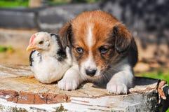 Fond de Pâques avec le chiot et un petit poulet Photographie stock libre de droits