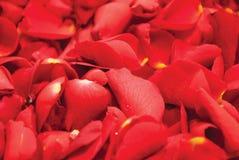 Fond de pétales de Rose Photos libres de droits