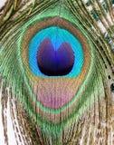 Fond de paon photos libres de droits