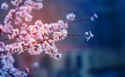 Fond de photo des fleurs lumineuses roses d'abricot photo libre de droits