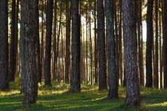Fond de pins Images libres de droits