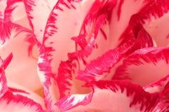 Fond de plan rapproché de fleur d'oeillet Photos stock