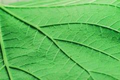 Fond de plan rapproché vert de feuille Photographie stock