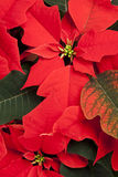 Fond de poinsettia Photos stock