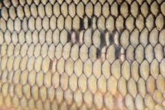Fond de poissons de carpe Photo libre de droits