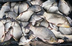 Fond de poissons frais Images libres de droits