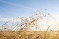 Fond de pré d'été Herbe d'or et ciel bleu d'espace libre Nature d'été le jour ensoleillé Images stock