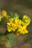 Fond de ressort avec de belles fleurs jaunes, macro Image libre de droits