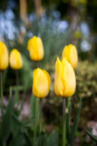 Fond de ressort avec de belles tulipes jaunes Photos stock