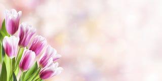 Fond de ressort avec la tulipe Image stock